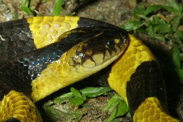 """特种养殖:剧毒蛇""""金环蛇""""饲养技术"""