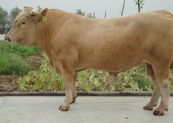 """黃肉牛品種""""夏南牛""""飼養技術[視頻]"""