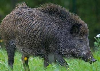 野豬基本習性及飼養場圈舍建造方法