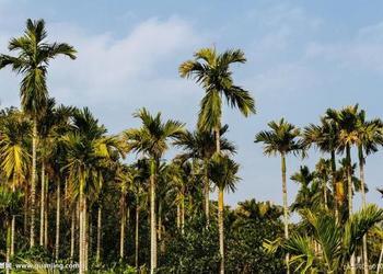 央視節目:檳榔的栽種技術資料