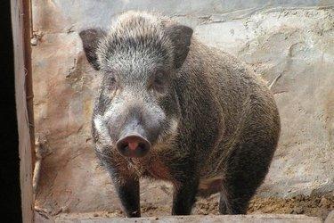 野豬養殖養護過程中的馴化方法