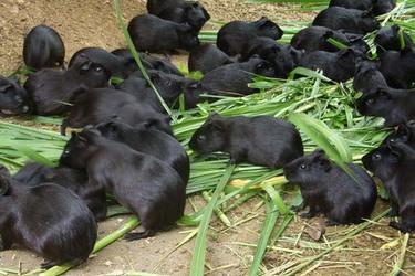 特種養殖:豚鼠繁育及飼養方法[視頻]
