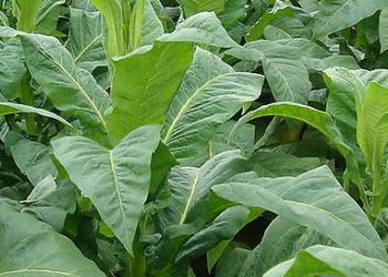 (茶葉生產)如何使用植物有效的防治茶葉害蟲