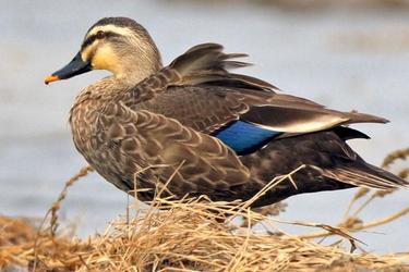提高斑嘴野鴨成活率的育雛期飼養關鍵技術