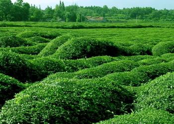 春季茶園管理抓六招促春茶增效(產茶技術)
