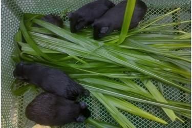 特种养殖:中华黑豚饲养技术[视频]