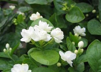 觀賞與經濟價值俱佳的茉莉花栽培種養技術