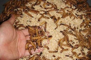 大麥蟲(超級黃粉蟲)的人工飼養技術