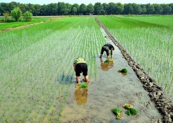 糧油農技:水稻插秧技術要求