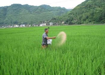 糧油農技:水稻需肥規律與施肥技術