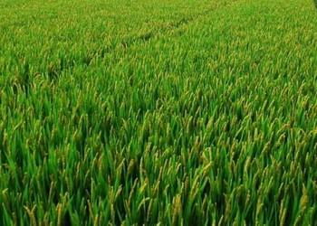 粮油农技:水稻抽穗结实期的田间管理