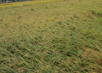 粮油农技:水稻倒伏的防治措施