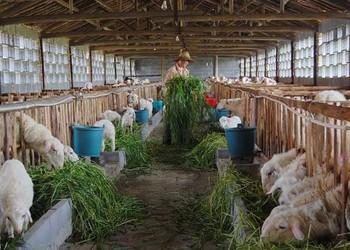 羊喂養飼養成本和利潤(養羊知識)