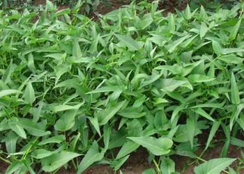 空心菜的高產優質栽種管理措施/手段