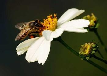 蜜蜂人工分蜂技術(養蜂知識)