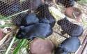 黑豚養殖創業項目的優勢及前途
