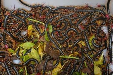 特養創業:蜈蚣飼養項目發展前景