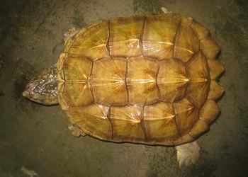 攻擊性龜類品種:鱷魚龜應該如何家養?