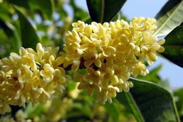 花木专题:桂花的功效与用途