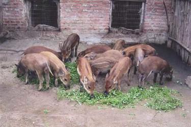 種草養豬的可行性與經濟價值