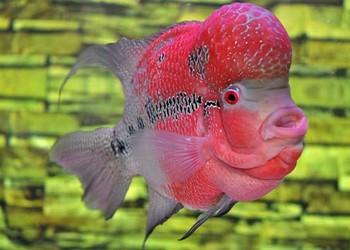 羅漢魚的家養飼喂技巧