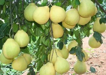 【果樹常識】柚子樹幾年才能結果?