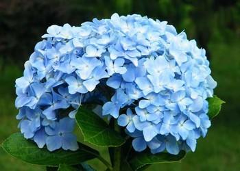 (花卉文化)繡球花的花語是什么?