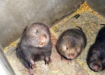 (特養項目)新手飼養喂養竹鼠的注意事項
