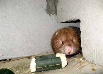 特养创业:饲养喂养竹鼠有创业前途吗?