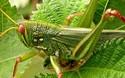 蝗蟲有什么營養價值?能吃嗎?怎么吃法?