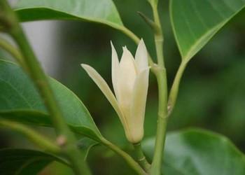 花卉技术:盆栽的白兰花该怎么养?