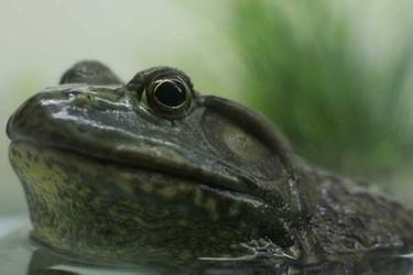 适合农村创业的5大养殖创业项目:牛蛙,长吻鲵…
