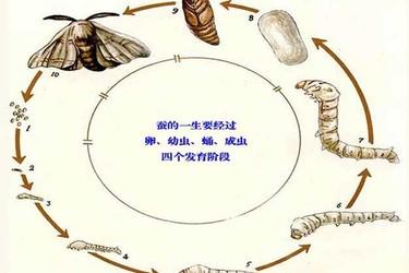蠶的生長過程及各階段的特點