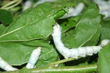 養蠶:不同種類的蠶吃什么食物?