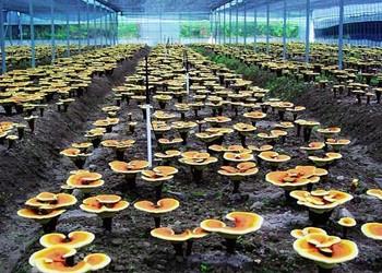 靈芝栽培需要的基本環境條件有哪些?