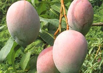 (膳食知识)孕妇能食用芒果吗?
