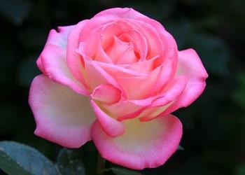 月季和玫瑰的区别(园艺花木知识)
