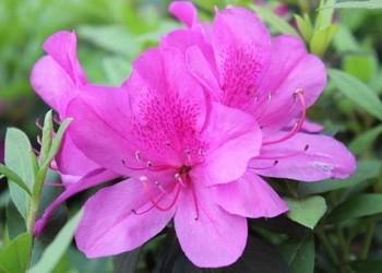 花木專題:杜鵑花的栽種技術方法