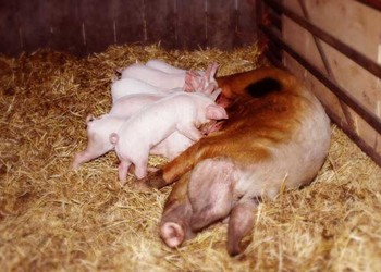 养猪专题:临产前母猪有哪些表现?