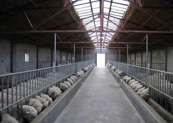 養羊要注意防治近親交配(養羊技術)