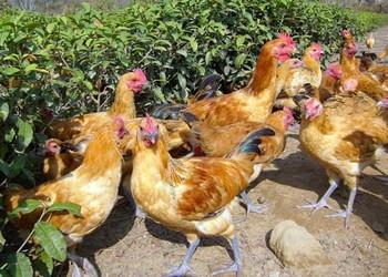 糖在雞飼養喂養中有什么作用(養雞科技)