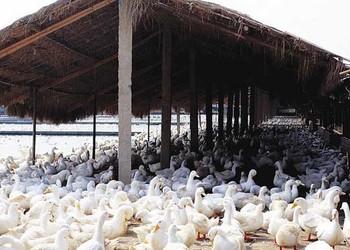 家禽:青年蛋鴨的圈養技術(養鴨技術)