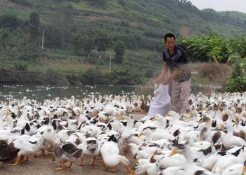(养鸭专题)肉鸭维生素A缺乏症防治