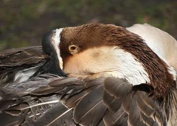 肥育期鵝的主要肥育措施