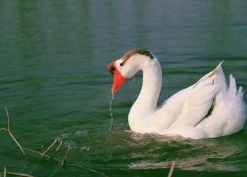 养鹅:冬季白鹅饲养的育肥方法
