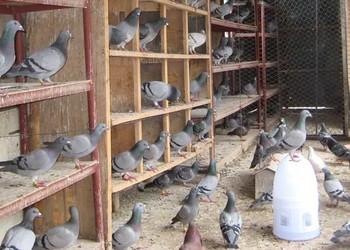 養鴿:肉鴿專用飼料配方及保健砂配制