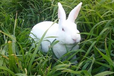 兔子的常見病認識及其防治(養兔專題)