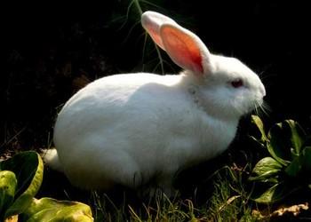 """養兔技術:母兔""""圍產期""""保健方案"""