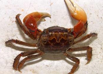 大閘蟹優劣質蟹苗的辨別選購方法