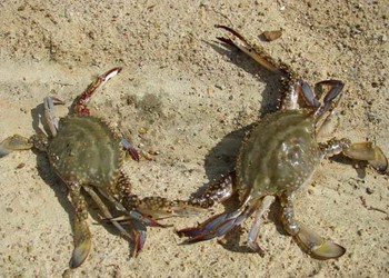 螃蟹專題:大閘蟹高效養殖養護技術